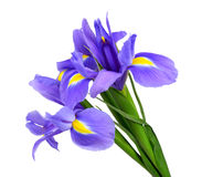 Purple iris flower. Isolated on white background royalty free stock images