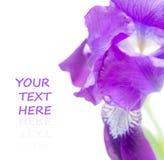 Purple iris flower macro Stock Images
