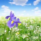 Purple iris flower Royalty Free Stock Photos