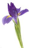 Purple iris Stock Images