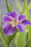 Purple Iris. Flower near a pond Stock Image