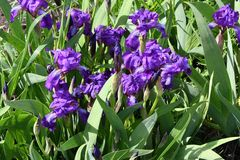 Purple Iris flower. Flower of Iris purple in the spring day Royalty Free Stock Photography