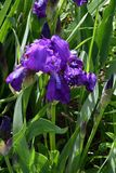 Purple Iris flower. Flower of Iris purple in the spring day Stock Photography