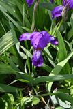 Purple Iris flower. Flower of Iris purple in the spring day Stock Photo