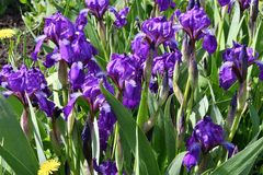 Purple Iris flower. Flower of Iris purple in the spring day Royalty Free Stock Photo