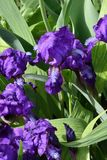 Purple Iris flower. Flower of Iris purple in the spring day Stock Images