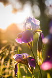 Purple Iris flower at sunset Stock Images