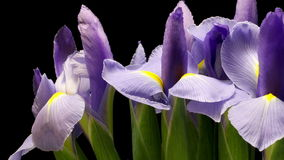 Purple Iris Flower Time-lapse Stock Photo