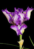 Purple Iris Flower Stock Image
