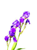 Purple iris flower on a white background Royalty Free Stock Images