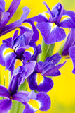 Purple iris flower on the yellow background. Stock Photography