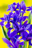 Purple iris flower on the yellow background. Stock Image
