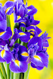 Purple iris flower on the yellow background. Royalty Free Stock Image