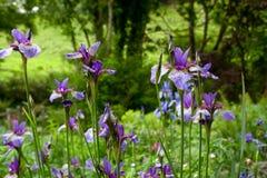 Purple iris flowers Royalty Free Stock Photo