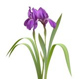 Purple Iris Flowers. Isolated on White Background. Vector illustration royalty free illustration