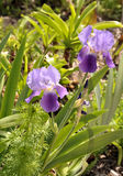 Purple Iris flowers in bloom. Two purple Iris flowers in bloom with green plants in background Stock Photography