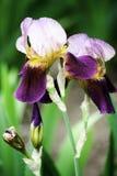 Purple iris flowers blooming in a garden in spring. Purple iris flowers blooming in the garden in spring stock image
