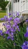 Purple iris flowers. Clump of purple iris flowers next to garden steps Stock Image