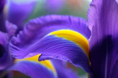 Purple iris flowers. Delicate petals. Natural background. Soft focus royalty free stock photos