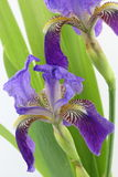 Purple iris flowers with leaves isolated on white Royalty Free Stock Photography