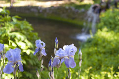 Purple iris flowers near a stream Stock Photos