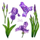 Violet Iris flower set. Purple Iris flowers on a white background. Hand drawn sketch. Template, design element for the floral composition Royalty Free Stock Images