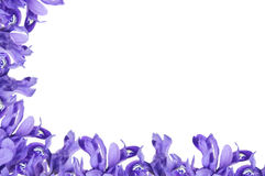Purple Iris frame. Dwarf purple iris frame on white background royalty free stock images