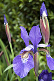Purple Iris in garden Stock Photography