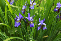 Purple iris in a garden. Many Purple iris in a flower garden on a sunny day Stock Images
