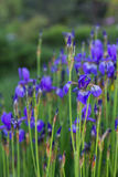 Purple iris in green summer garden Stock Image
