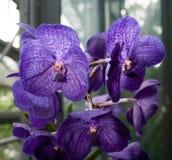 Purple Iris in greenhouse setting. Purple Iris perennials in greenhouse setting Stock Photo