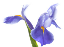 Purple iris isolated on white Royalty Free Stock Photography