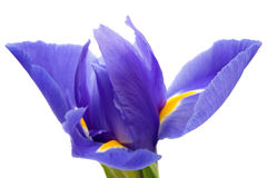 Purple iris isolated on white Royalty Free Stock Images