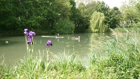 Purple iris by the lake royalty free stock image