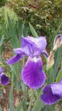 Purple iris 1 Stock Image