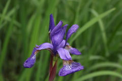 Purple Iris. On nature background stock photos
