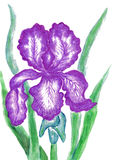 Purple iris, painting Royalty Free Stock Photos