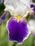 Purple Iris Petal Royalty Free Stock Photos