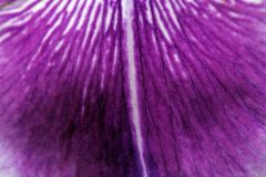 Purple Iris Petal Macro Royalty Free Stock Photo