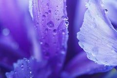 Purple Iris petals with water droplets Stock Photos