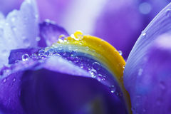 Purple Iris petals with water droplets Stock Photography