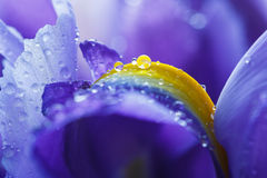 Purple Iris petals with water droplets Royalty Free Stock Photos