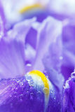 Purple Iris petals with water droplets Stock Photo