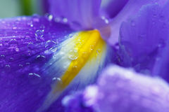 Purple Iris petals with water droplets Royalty Free Stock Photo