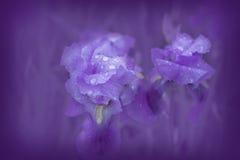 Purple iris on a purple soft background Stock Images