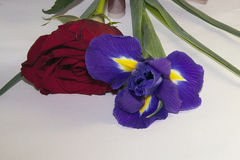 Purple iris and rose Stock Photography