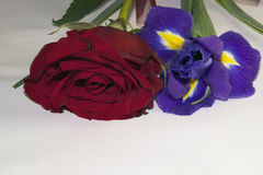 Purple iris and rose Royalty Free Stock Images