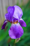 Purple Iris Sibirica Flower Royalty Free Stock Photo