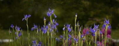 Purple Iris in the summer Stock Photos