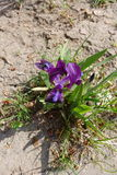 Purple Iris tectorum in dry soil from above Royalty Free Stock Photos